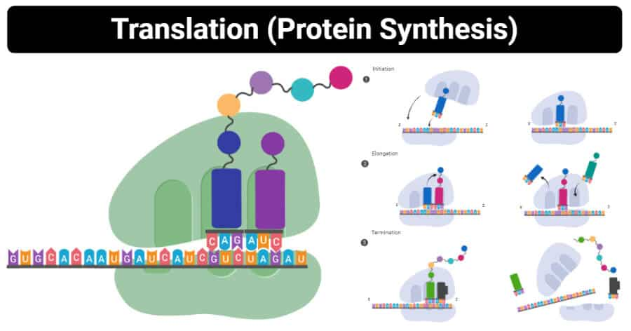 What Is The Site Of Protein Synthesis